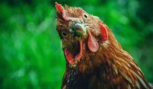 Pakistan: Muslim boy arrested for raping chicken