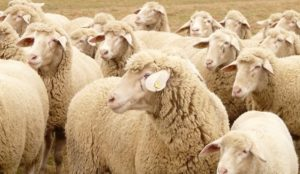 Italy: Muslim migrants slaughter sheep in a parking lot