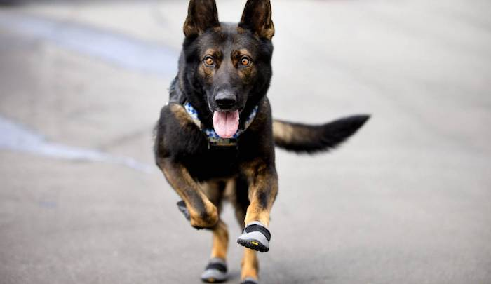 https://www.jihadwatch.org/wp-content/uploads/2020/11/dog-with-booties.jpg